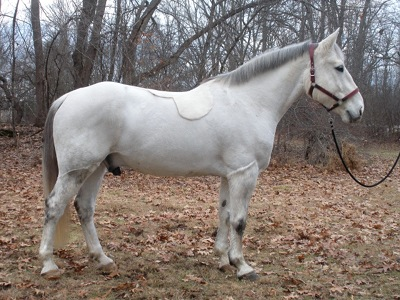 Quality bred Irish Draught and Irish Draught Sport Horses for sale