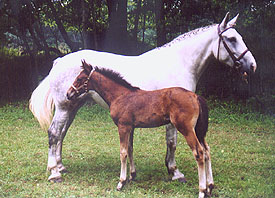 Irish Draught Mare and Irish Sport Horse filly