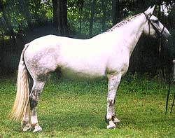 Registered Irish Draught mare, quality breeding