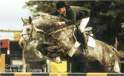 Cruising, international show jumper, Irish Sport Horse