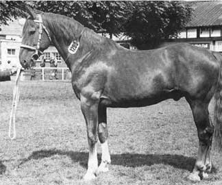 King of Diamonds, Registered Irish Draught Stallion