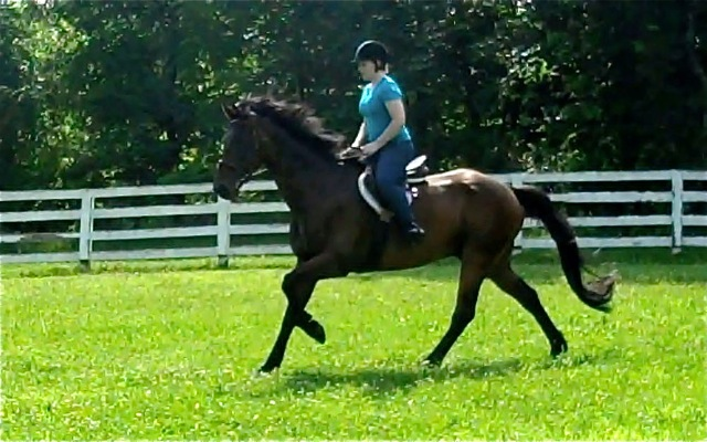 Miller, imported Irish Sport Horse, show jumper, hunter, eventer