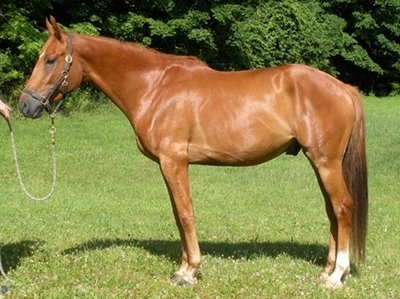 Quality Bred Irish Draught And Irish Draught Sport Horses