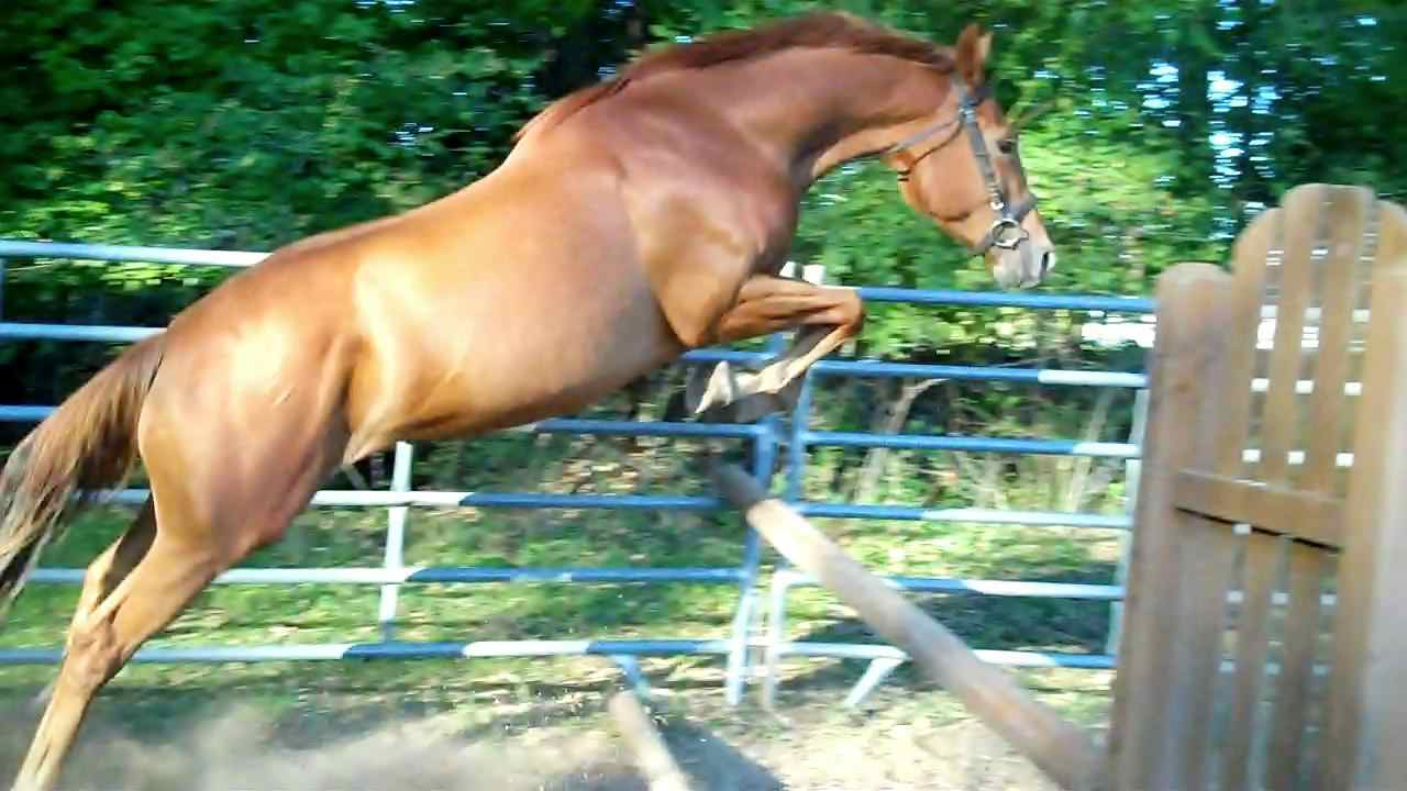 Prince, Irish Draught Sport Horse gelding for sale, superb bloodlines