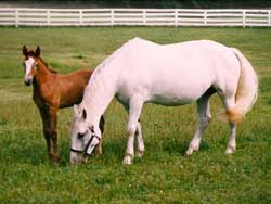 Irish Draught Mare and Irish Draught filly