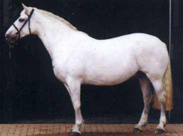 Irish Draught Mare, quality breeding