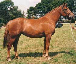 Knockraheen Rua, Imported Irish Draught Broodmare