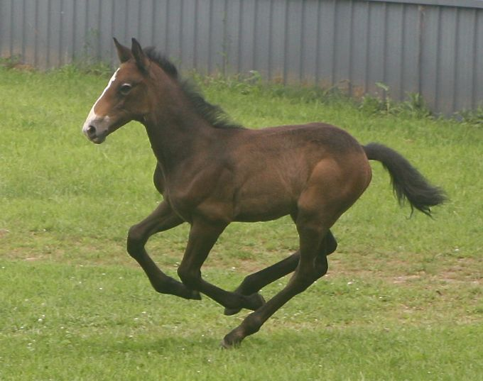 Touch of the Irish, Irish Draught Horse stallion for sale, by O'Leary's Irish Diamond